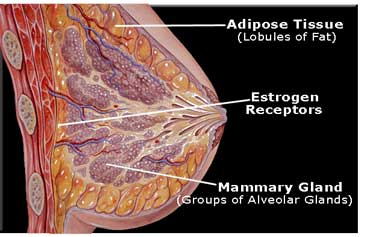 human female breast
